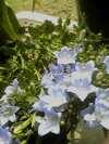 Hosi_flower